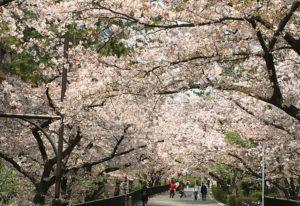 2020散り初め名残りの桜トンネル